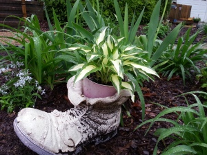 hosta in a pot