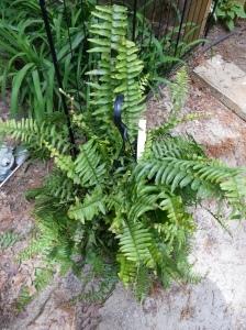 Dividing Boston ferns