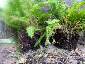 Pull apart delicate ferns and use the same approach to finding separate plants in the same pot