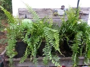 dividing ferns, stretching your garden dollar