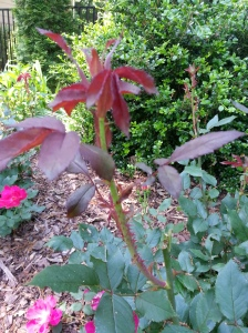 New growth can be red but this is a deep almost burgundy red