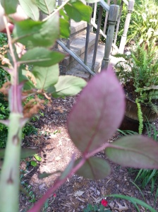 I kept pruning hoping to find healthy leaves and I did not. this is from the bottom of the stalk and the old growth had begun to take on the reddish color and the stem was dark green with the red thorns and this continued all the way down so I knew then my battle was lost