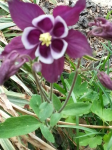 My purple columbine Aquilegia