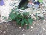 Black Magic Elephant ears (Colocasia) love moist areas