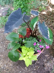Colcasia (my black elephant ears), Impatiens, Coleous, Impatiens, Hosta, and Sweet Potato vine all together