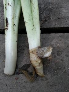 rooting hosta, rooting plantain, saving hosta