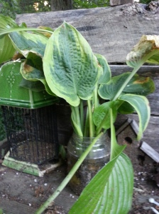 rooting hosta, rooting plantain