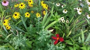 Mix of Black eyed Susans, PowWowConeflowers, red daylily, Autumn Joy Sedum,