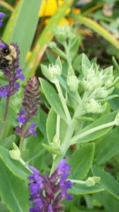 Salvia, sedum