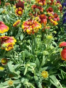 Healthy Gailardia (Blanket Flower)