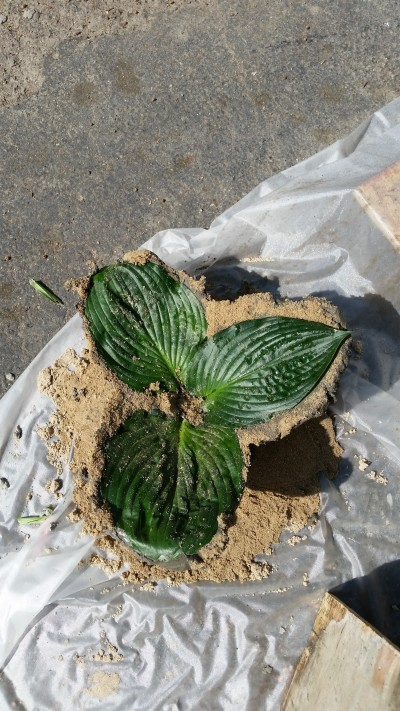 about 12 hours later I picked it up (still damp) and peeled off the hosta leaves