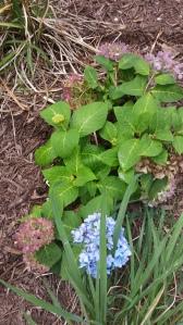 Monrovia Mini Penny Hydrangea, hydrangrea