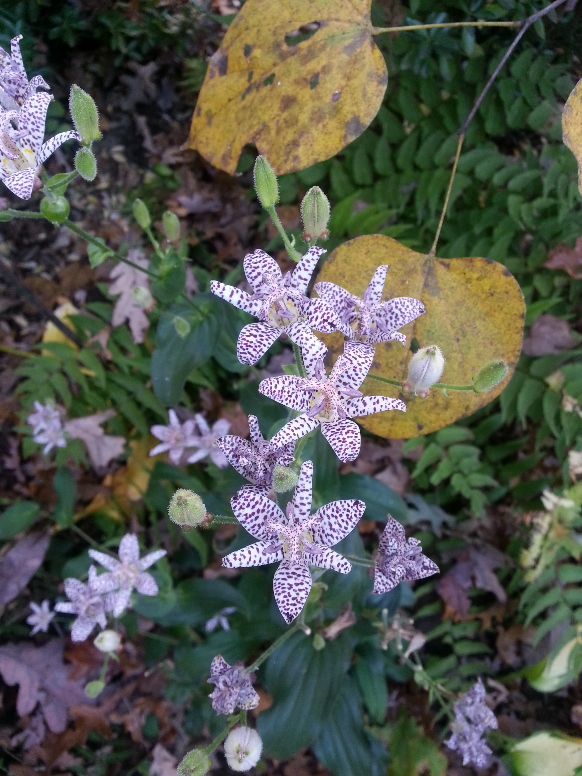 One of my favorite shade plants for fall the toad lily toad lily tricyrtis shade fall bloomer in the garden izmirmasajfo