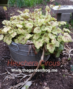 Heuchera circus, heuchera, coral bells, shade garden