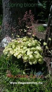 heuchera, coral bells, Heuchera circus, shade garden