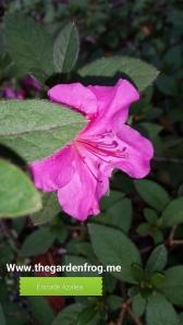 Encore azalea bloom