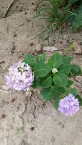 Mini Penny hydrangea still trying to bloom through fall
