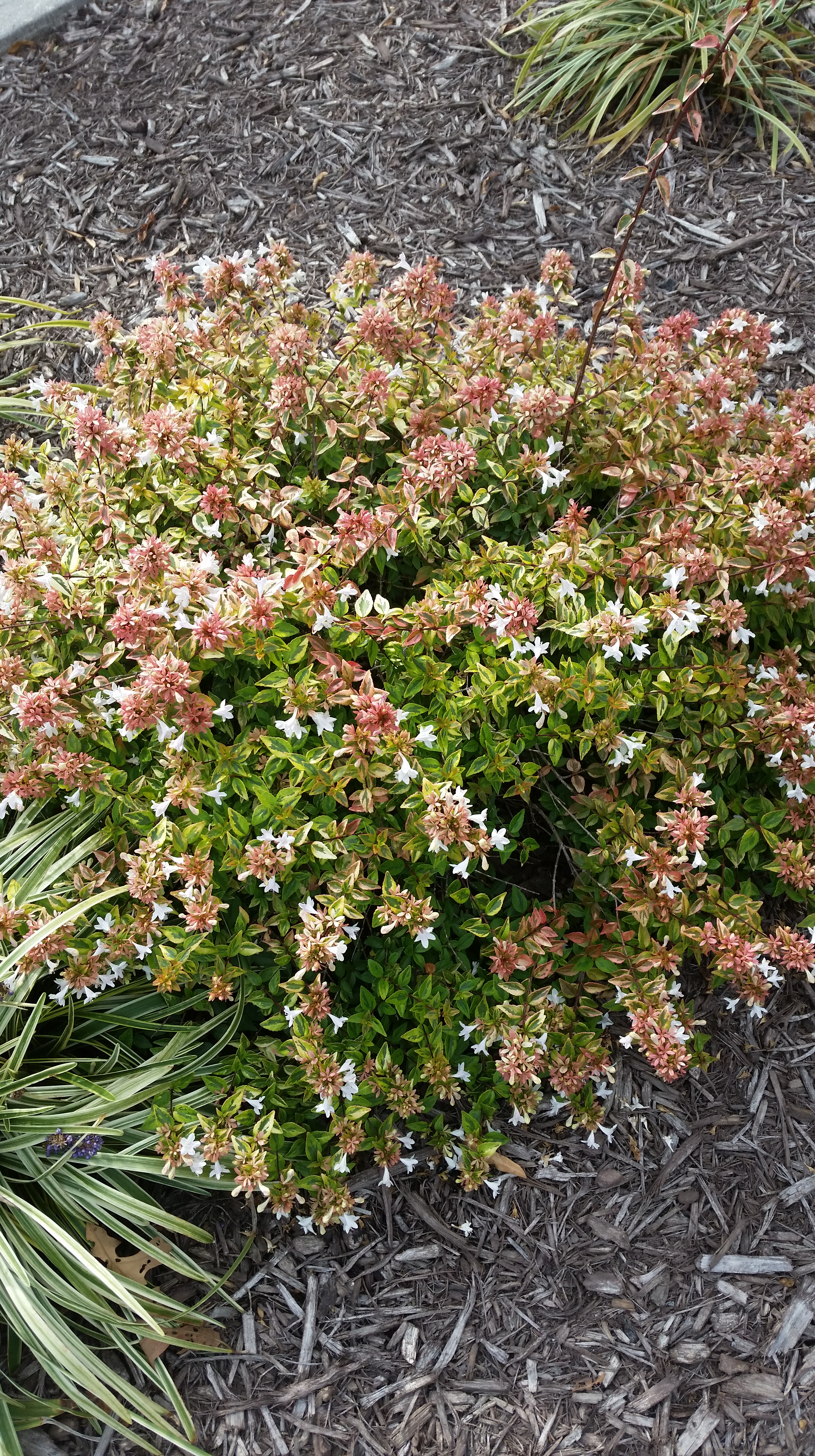 Abelia A Fragrant And Mid Summer To Fall Blooming Shrub