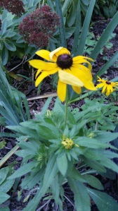 October 2014 Rudbeckia Hirta (black eyed susans) sown this spring blooming