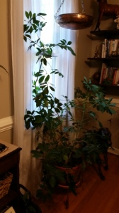 One of my Schefflera that I have had for over 16 years