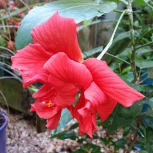 Tropical hibiscus 10/2014