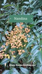 nandina 1