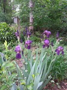 Spring 2013 Iris