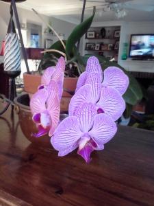 ice orchid, phalaenopsis