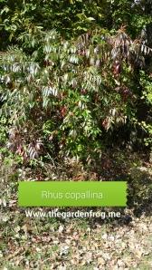 rhus copallina, winged sumac, smooth sumac, native