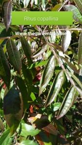 Rhus copallina, winged sumac, smooth sumac