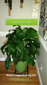 Peace Lily, spathiphyllum spp, spathiphyllum