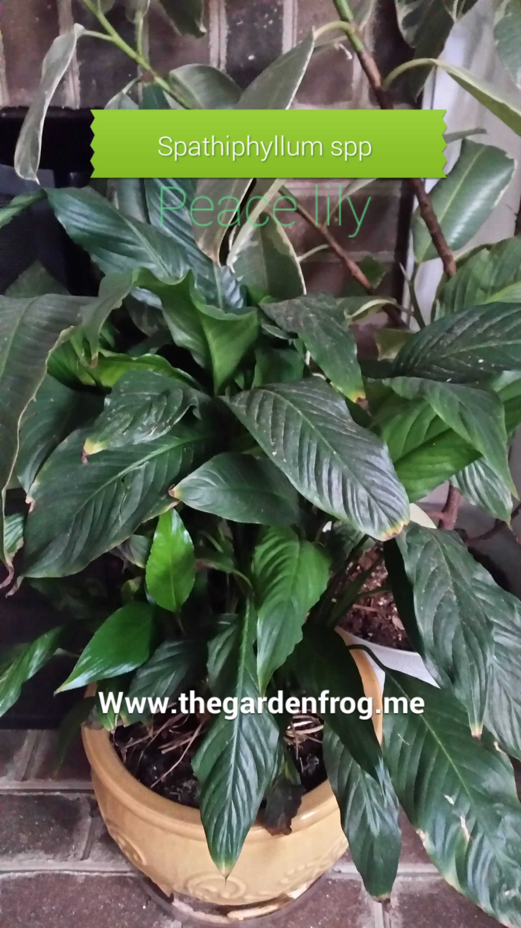 A great choice for a house plant the peace lily peace lily spathiphyllum izmirmasajfo