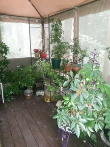 houseplants, Schefflera