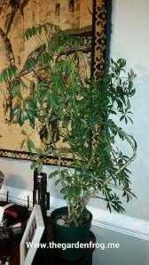 Schefflera, Umbrella plant
