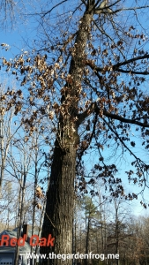 red oak in winter
