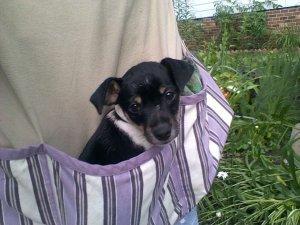 Gerdy Mae Jack/Fox terrier mix