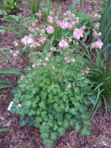 my pink and white ruffled Columbine (Aquilegia)