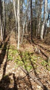 woodland fern, Christmas fern, Polystichum acrostichoides