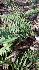 native fern, Christmas fern, Polystichum acrostichoides