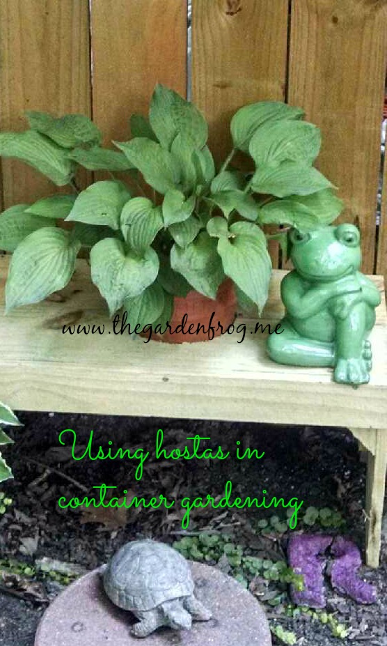 Using hostas in container gardening