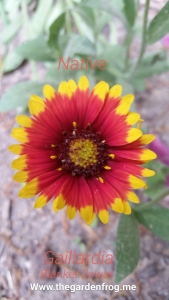 Gaillardia, Blanket Flower, native plants