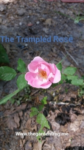 trampled rose, life lesson from a rose