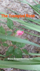 trampled rose
