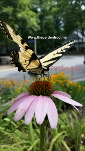 EAstern Swallowtail butterfly, Eastern Yellow Swallowtail butterfly