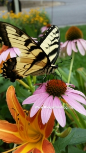 Eastern yellow Swallowtail butterfly, Swallowtail butterfly