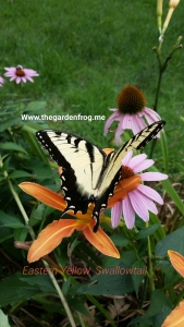 Swallowtail butterfly, Eastern Yellow Swallowtail butterfly