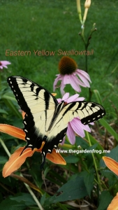 Eastern Swallowtail butterfly, male Swallowtail butterfly