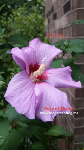 Rose of Sharon, Hibiscus syriacus, Althea