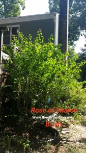 Rose of Sharon bush, Althea, Hibiscus syriacus