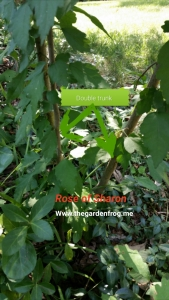 Rose of Sharon trunk